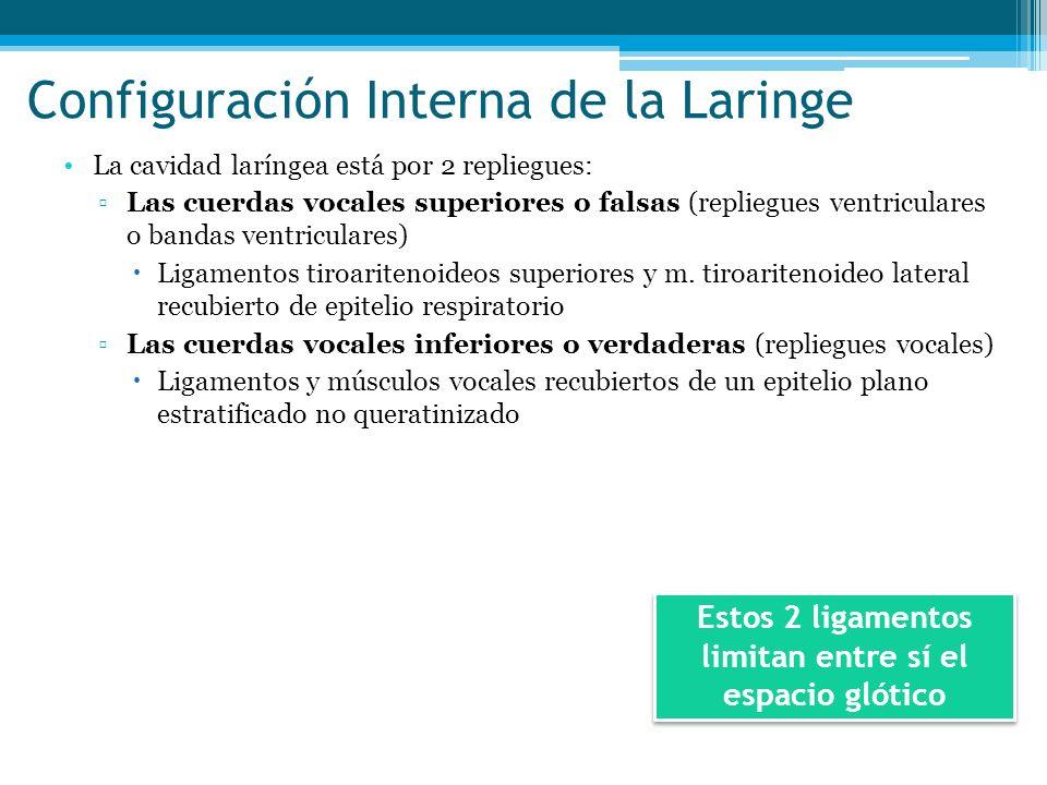 Configuración Interna de la Laringe