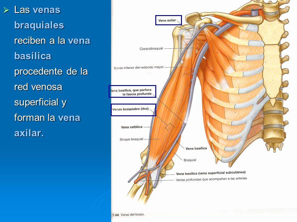 Las venas braquiales reciben a la vena basílica procedente de la red venosa superficial y forman la vena axilar.