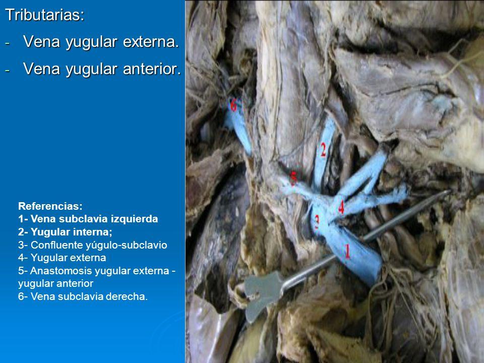 Tributarias: Vena yugular externa. Vena yugular anterior. Referencias: