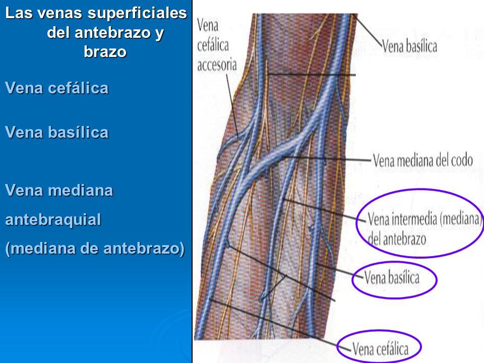 Las venas superficiales del antebrazo y brazo