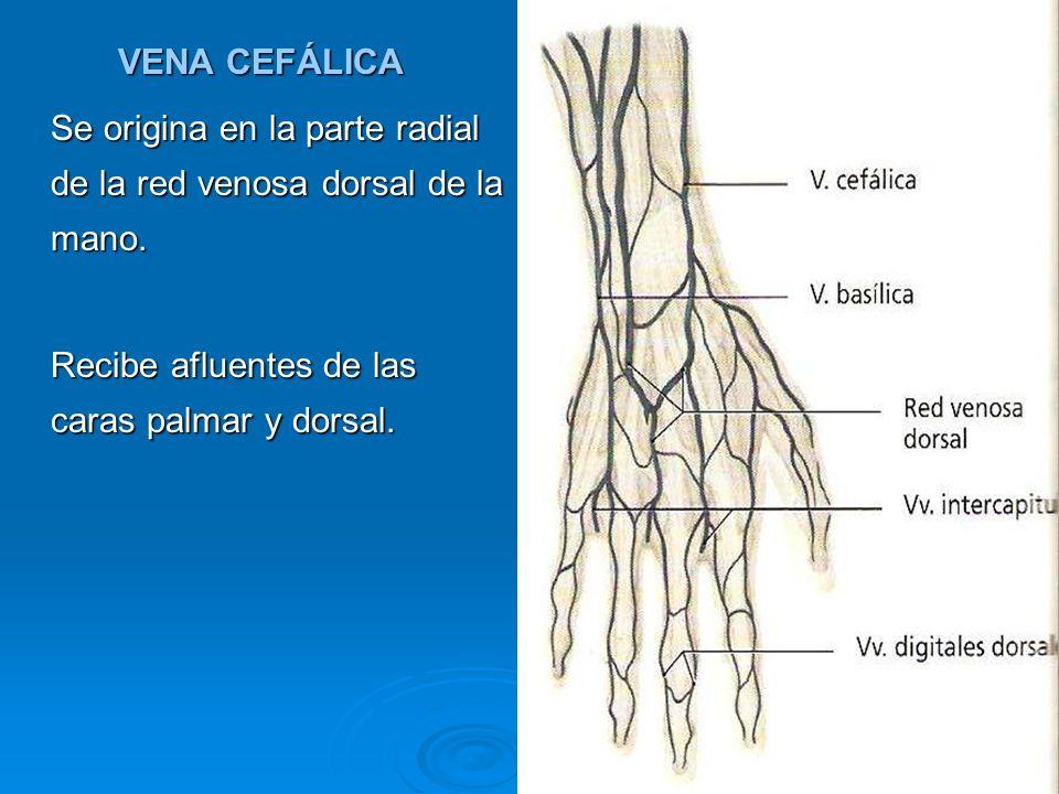 VENA CEFÁLICA Se origina en la parte radial de la red venosa dorsal de la mano.
