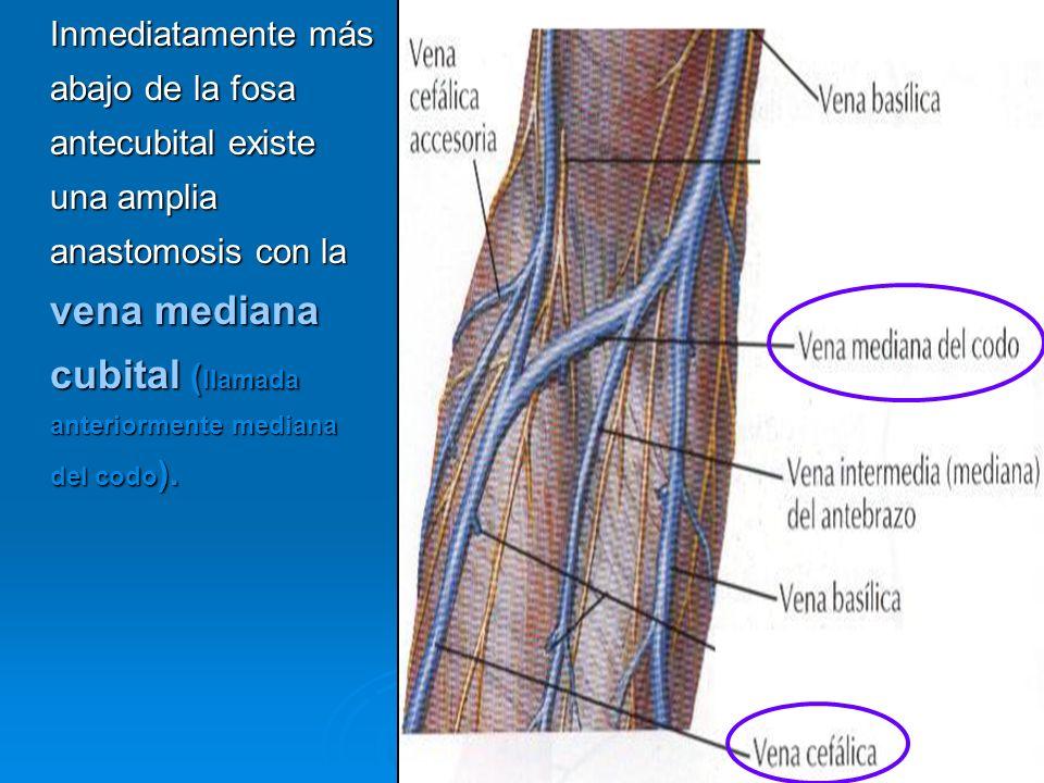 Inmediatamente más abajo de la fosa antecubital existe una amplia anastomosis con la vena mediana cubital (llamada anteriormente mediana del codo).