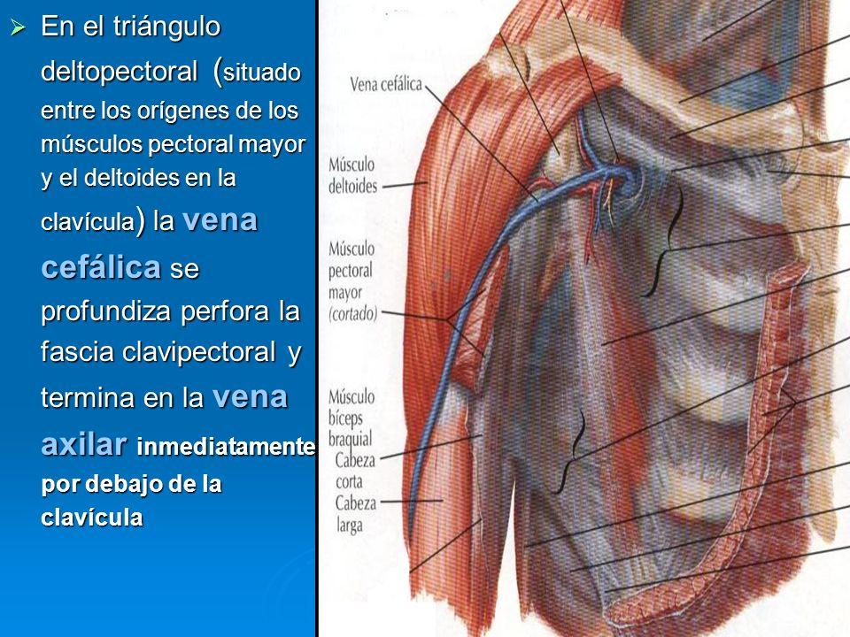 En el triángulo deltopectoral (situado entre los orígenes de los músculos pectoral mayor y el deltoides en la clavícula) la vena cefálica se profundiza perfora la fascia clavipectoral y termina en la vena axilar inmediatamente por debajo de la clavícula