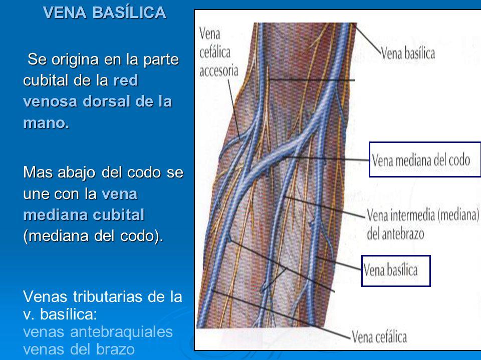 VENA BASÍLICASe origina en la parte cubital de la red venosa dorsal de la mano.