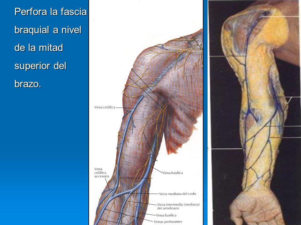 Perfora la fascia braquial a nivel de la mitad superior del brazo.