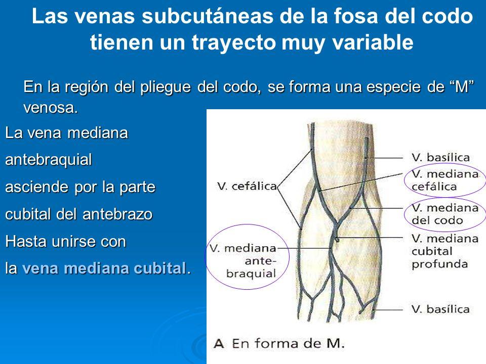 En la región del pliegue del codo, se forma una especie de M venosa.