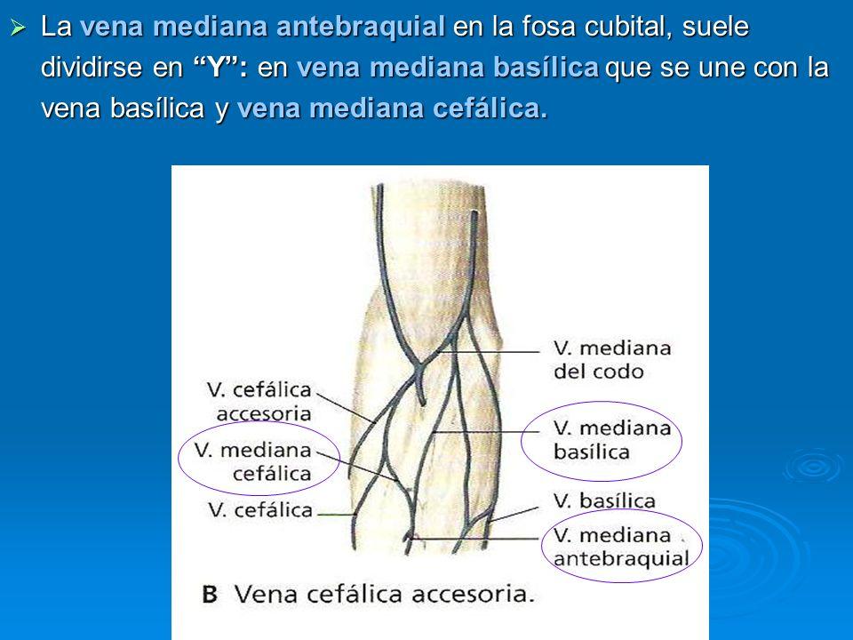 La vena mediana antebraquial en la fosa cubital, suele dividirse en Y : en vena mediana basílica que se une con la vena basílica y vena mediana cefálica.