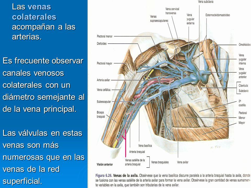 Las venas colaterales acompañan a las arterias.