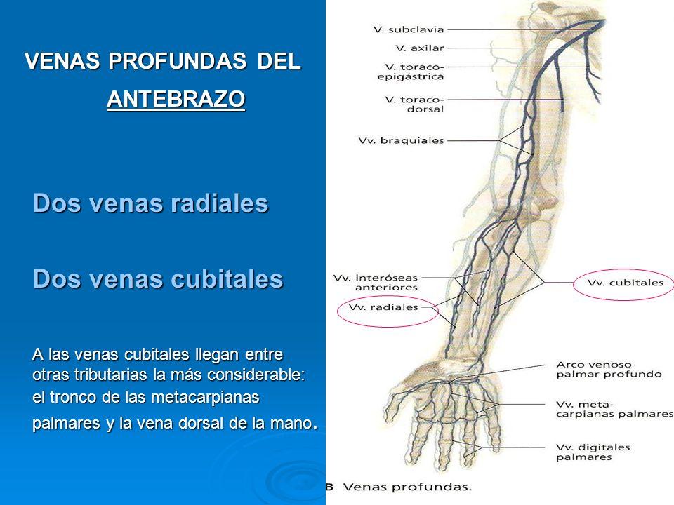 VENAS PROFUNDAS DEL ANTEBRAZO