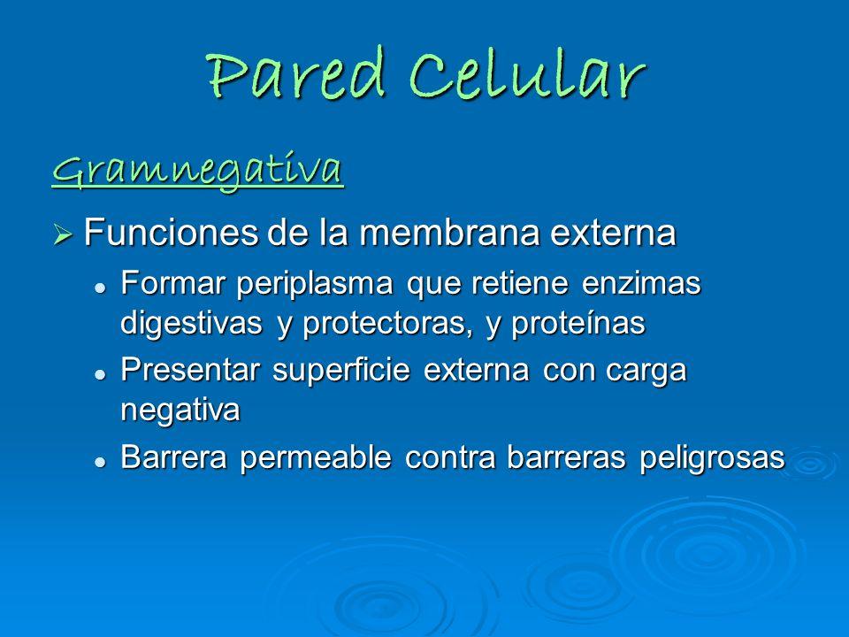 Pared Celular Gramnegativa Funciones de la membrana externa