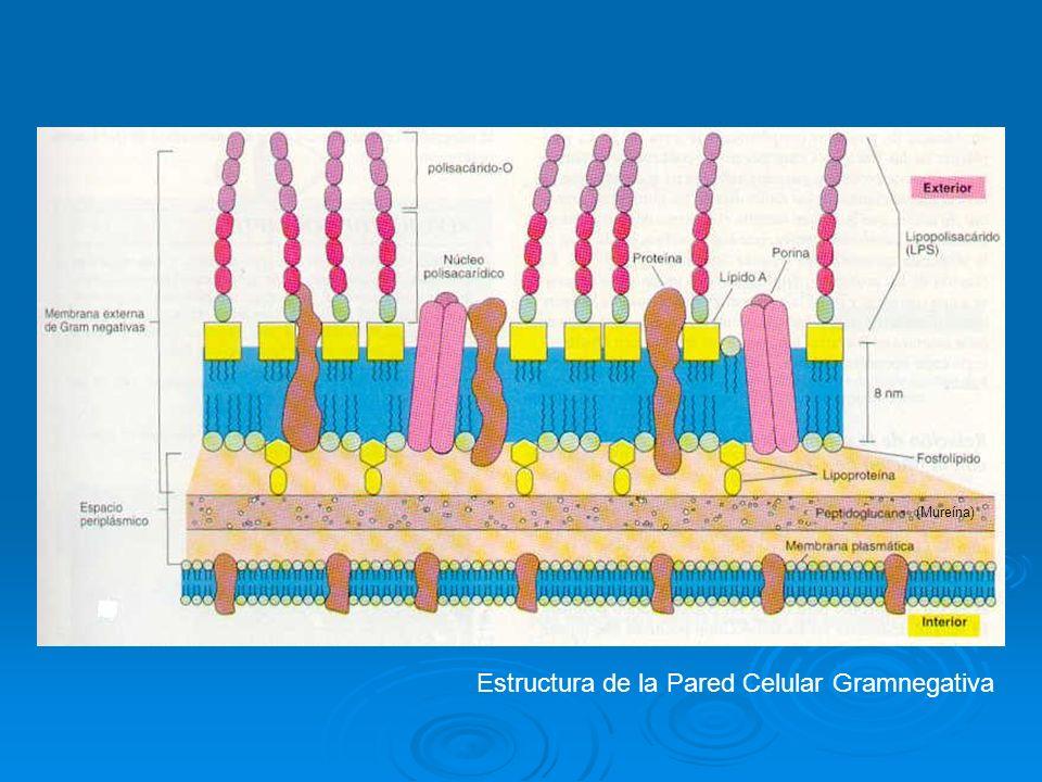 Estructura de la Pared Celular Gramnegativa