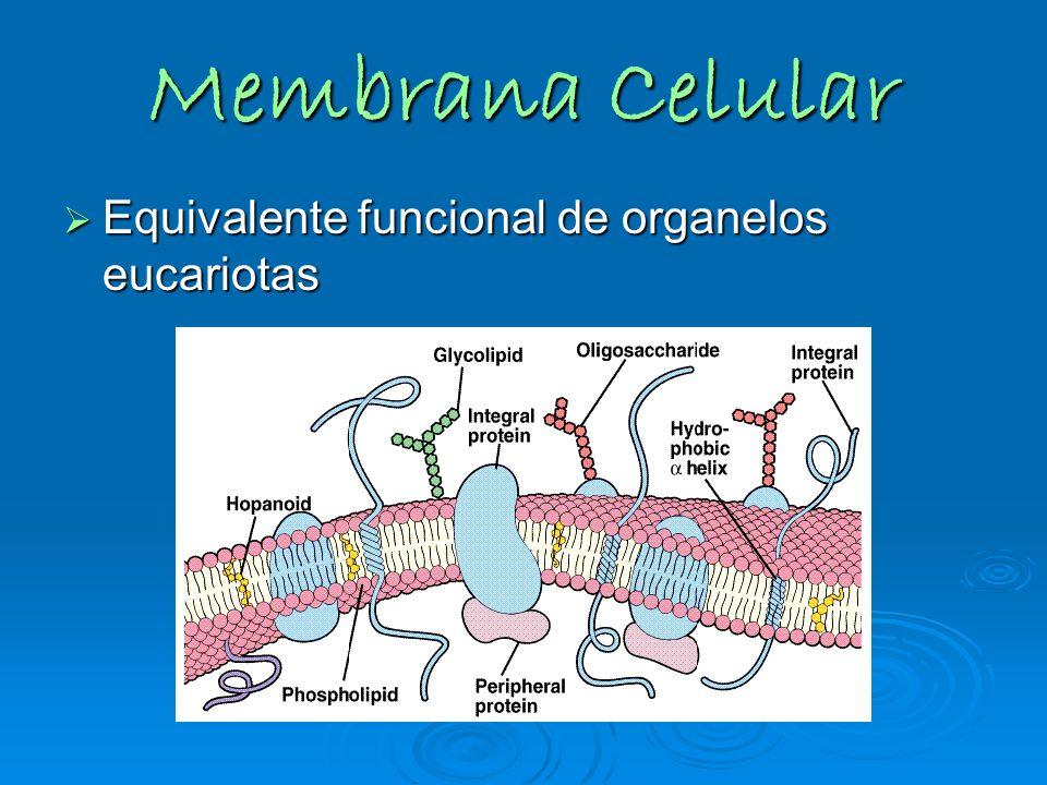 Membrana Celular Equivalente funcional de organelos eucariotas