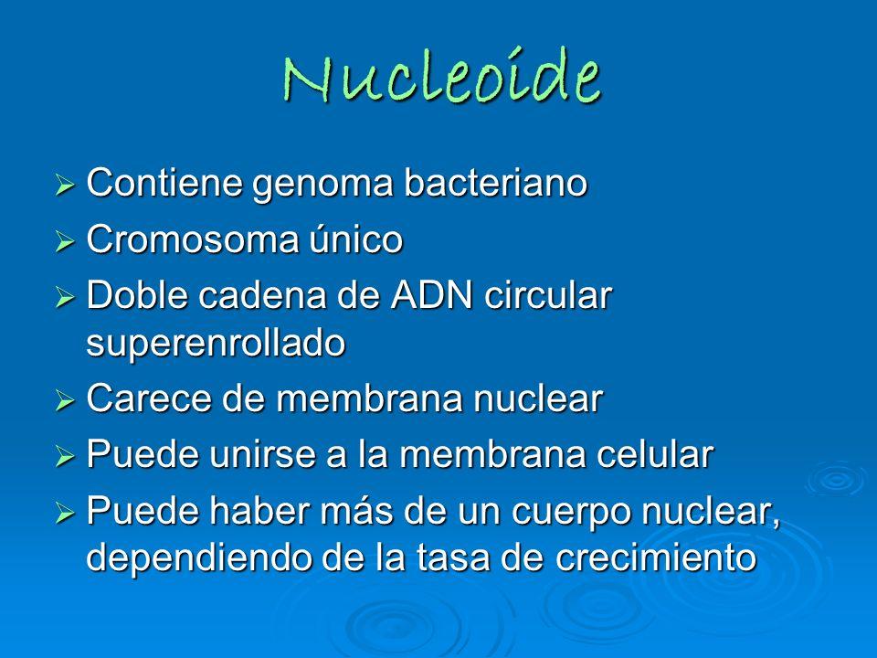 Nucleoide Contiene genoma bacteriano Cromosoma único