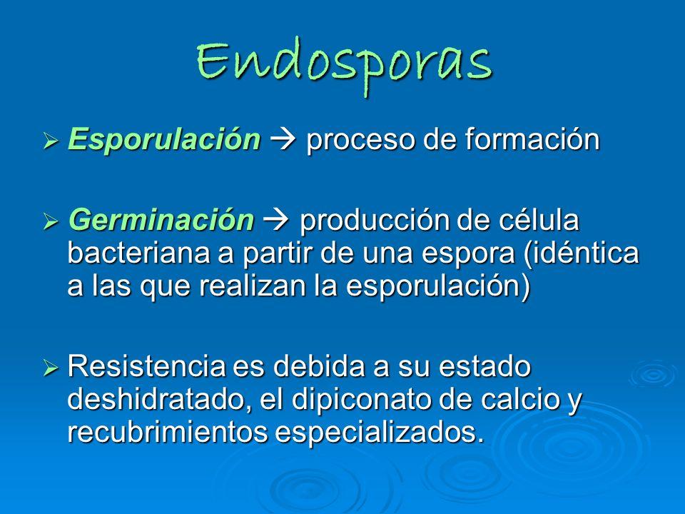 Endosporas Esporulación  proceso de formación