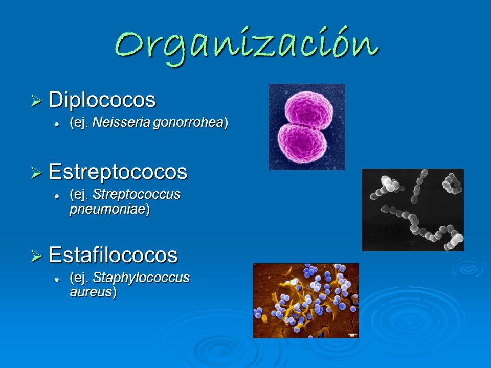 Organización Diplococos Estreptococos Estafilococos