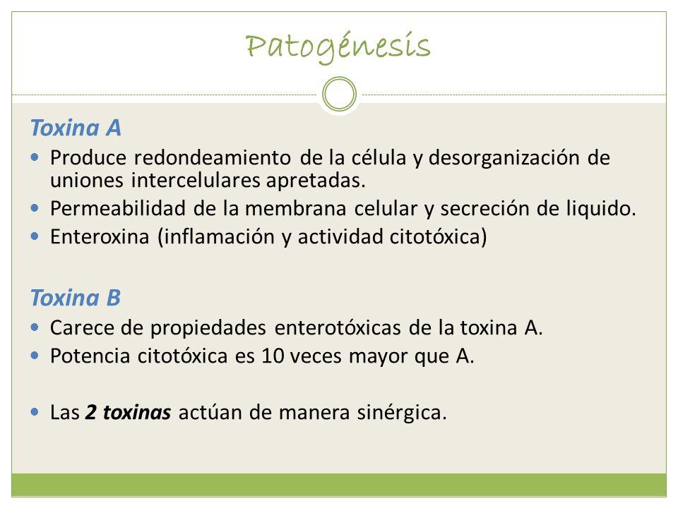 Patogénesis Toxina A Toxina B