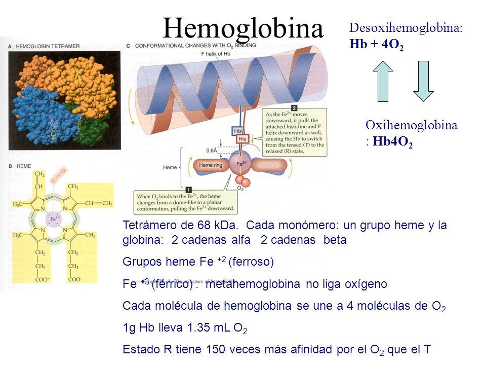 Hemoglobina Desoxihemoglobina: Hb + 4O2 Oxihemoglobina: Hb4O2