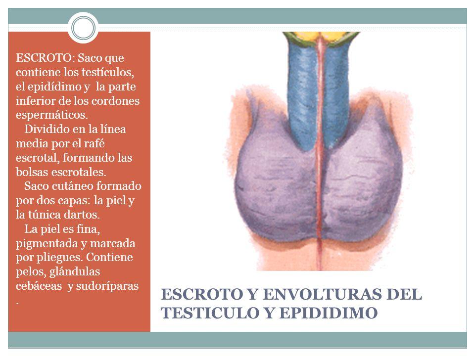 ESCROTO Y ENVOLTURAS DEL TESTICULO Y EPIDIDIMO