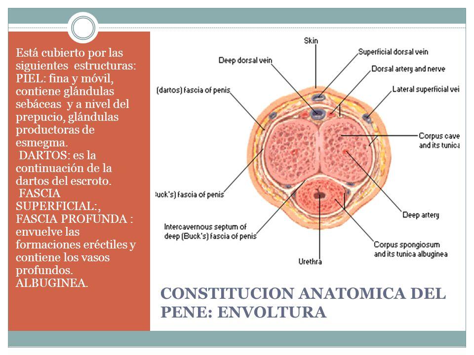 CONSTITUCION ANATOMICA DEL PENE: ENVOLTURA
