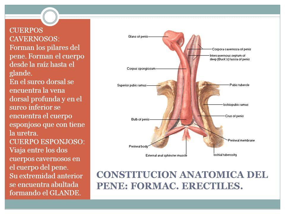 Excelente La Anatomía Del Pene Masculino Friso - Imágenes de ...