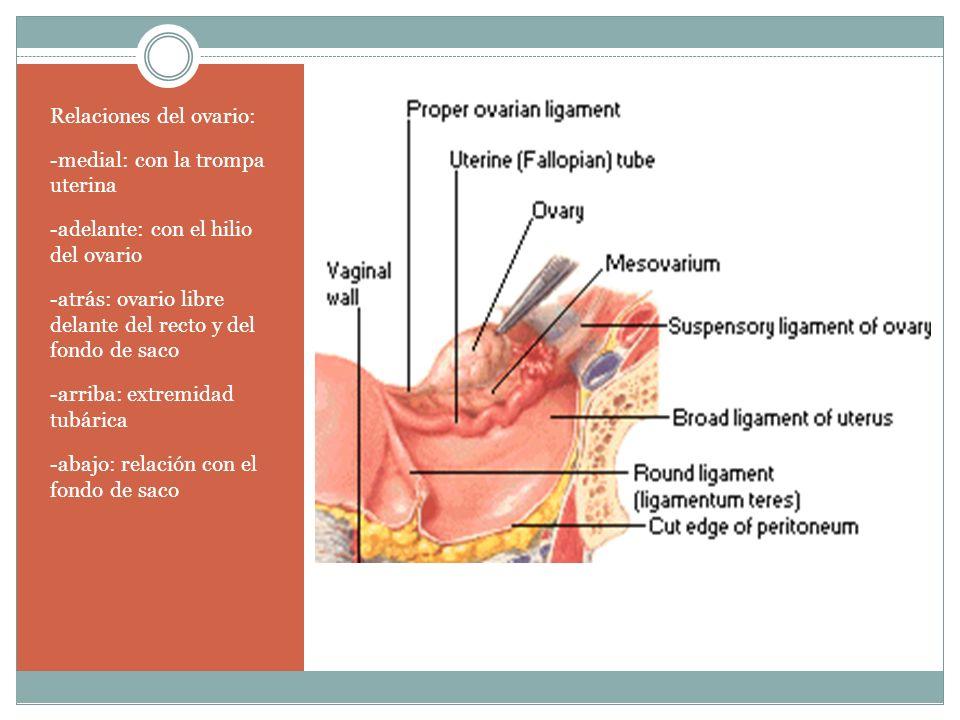 Relaciones del ovario: