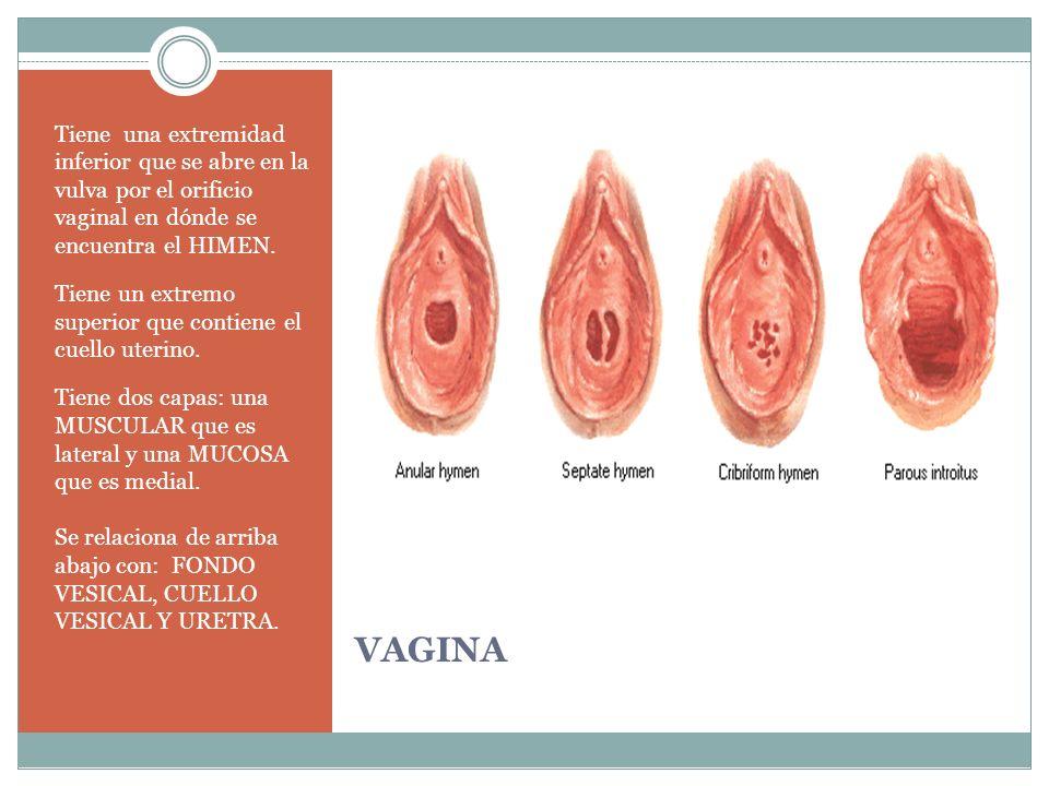 Tiene una extremidad inferior que se abre en la vulva por el orificio vaginal en dónde se encuentra el HIMEN.