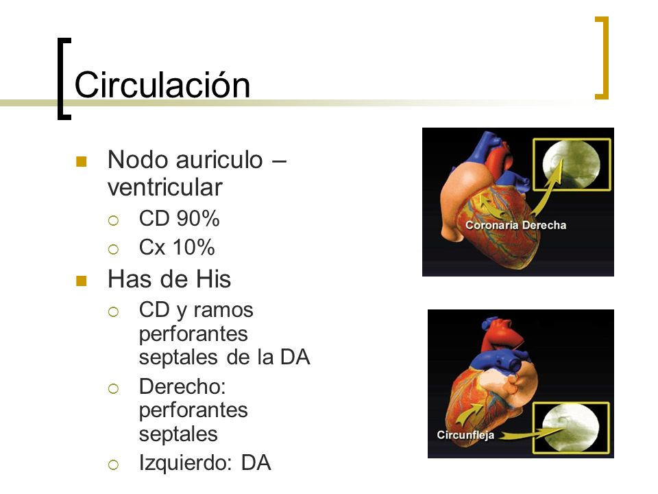 Circulación Nodo auriculo – ventricular Has de His CD 90% Cx 10%