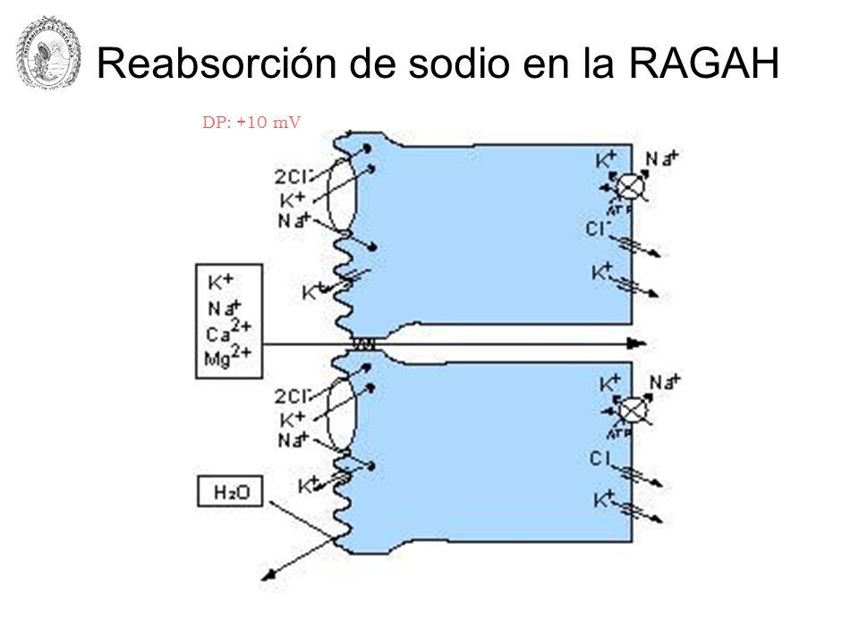 Reabsorción de sodio en la RAGAH