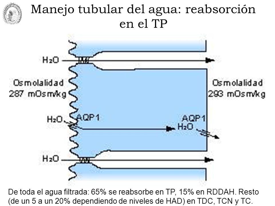 Manejo tubular del agua: reabsorción en el TP