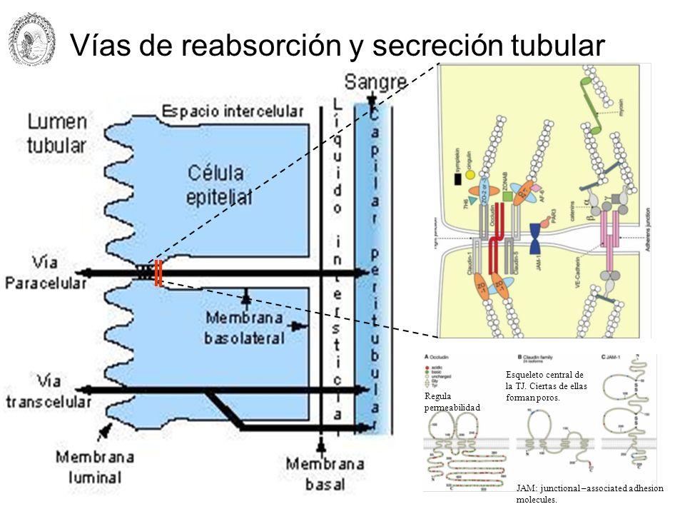 Vías de reabsorción y secreción tubular