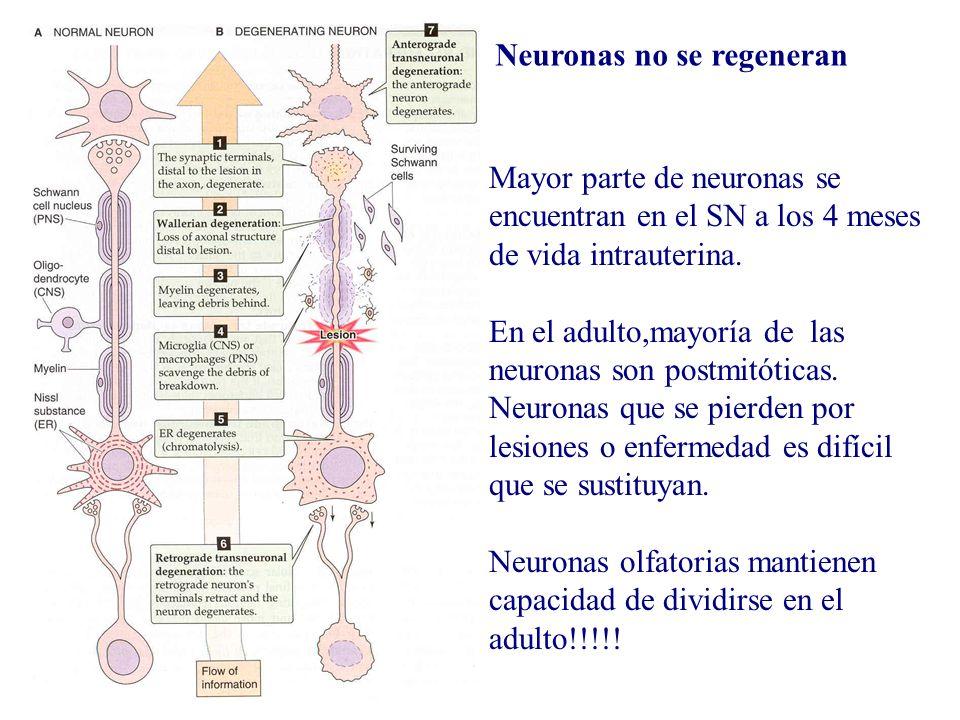 Neuronas no se regeneran