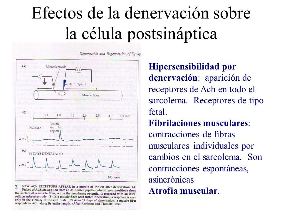 Efectos de la denervación sobre la célula postsináptica