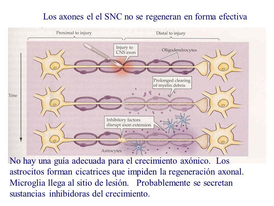 Los axones el el SNC no se regeneran en forma efectiva