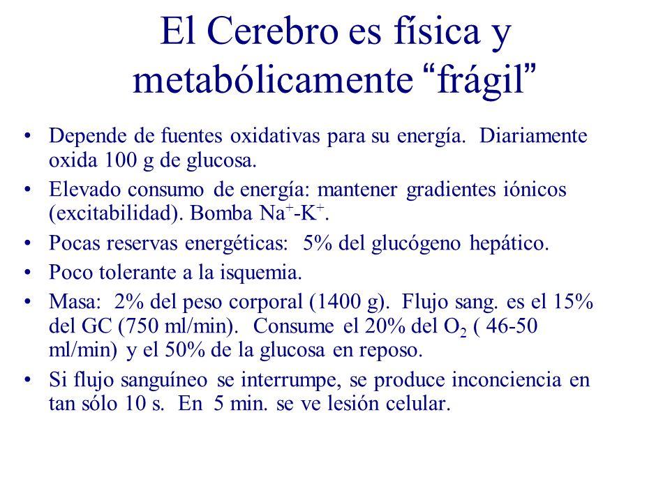 El Cerebro es física y metabólicamente frágil