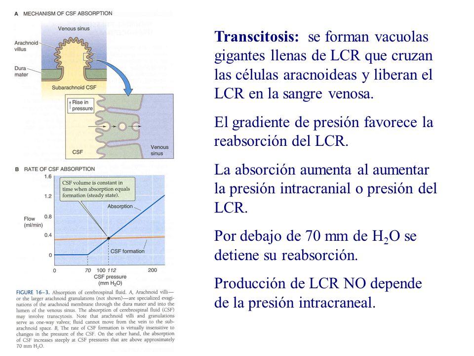 Transcitosis: se forman vacuolas gigantes llenas de LCR que cruzan las células aracnoideas y liberan el LCR en la sangre venosa.