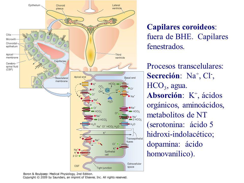 Capilares coroideos: fuera de BHE. Capilares fenestrados.