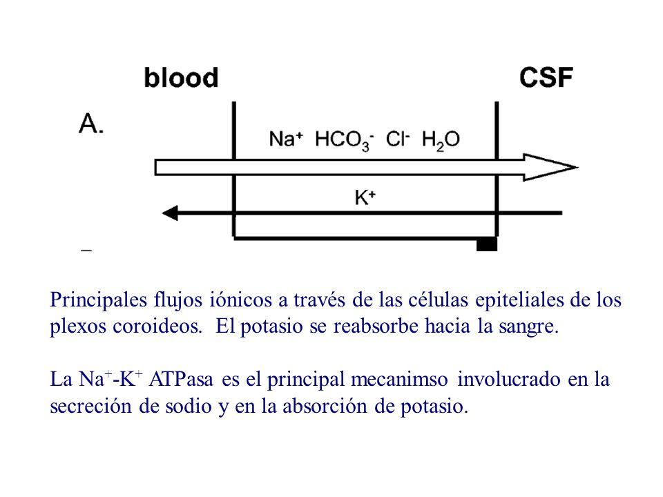 Principales flujos iónicos a través de las células epiteliales de los plexos coroideos. El potasio se reabsorbe hacia la sangre.