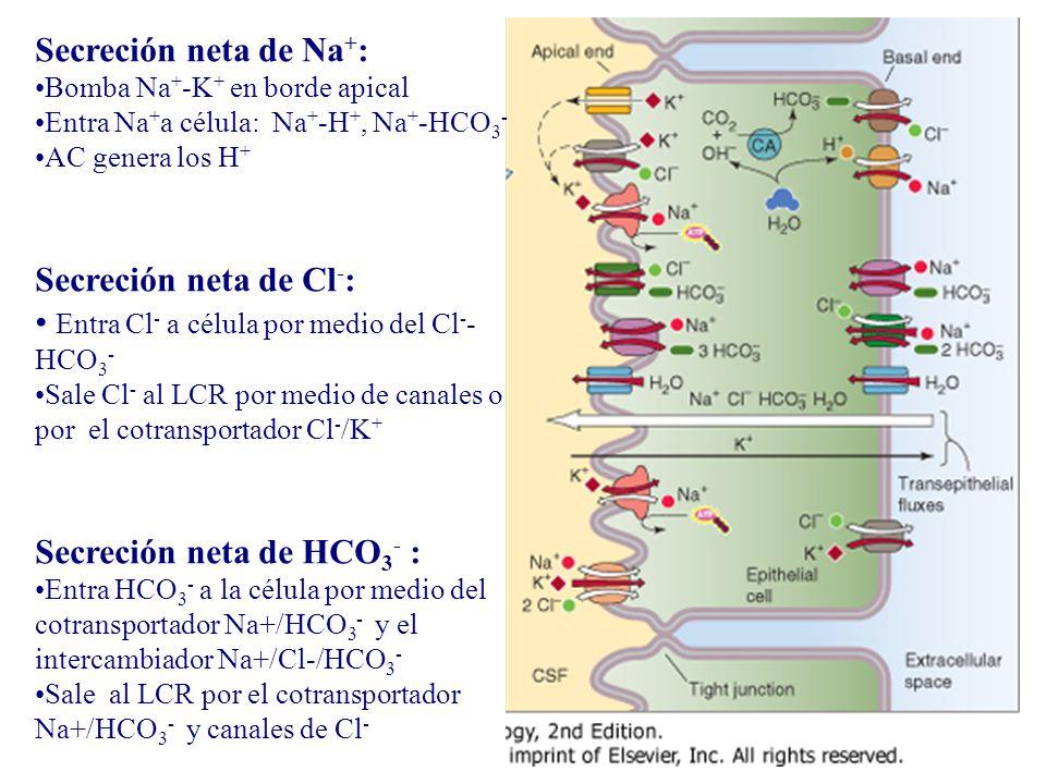 Entra Cl- a célula por medio del Cl--HCO3-