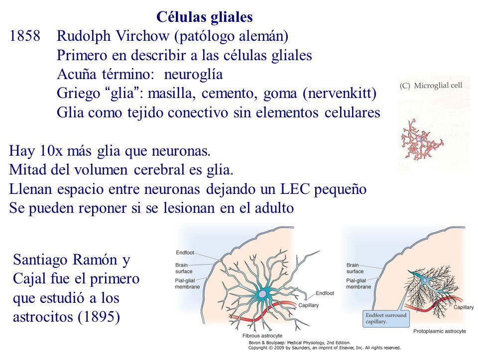 Células gliales 1858 Rudolph Virchow (patólogo alemán) Primero en describir a las células gliales.