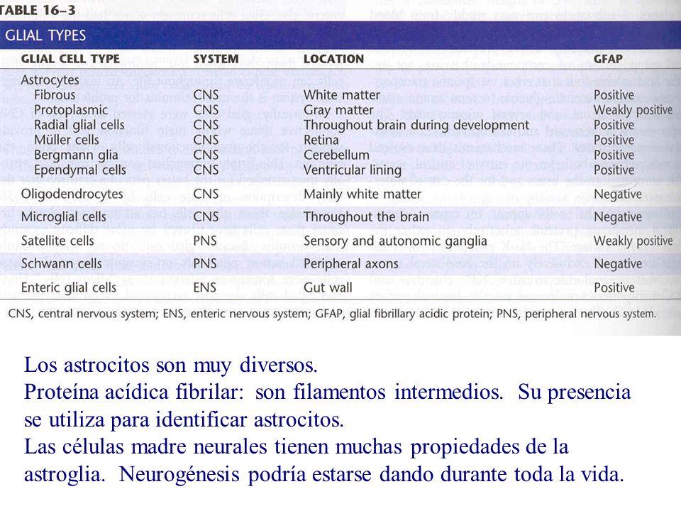 Los astrocitos son muy diversos.