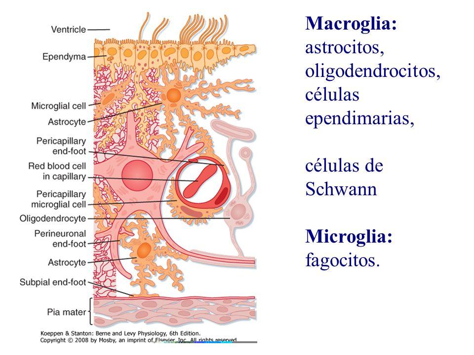 Macroglia: astrocitos, oligodendrocitos, células ependimarias,