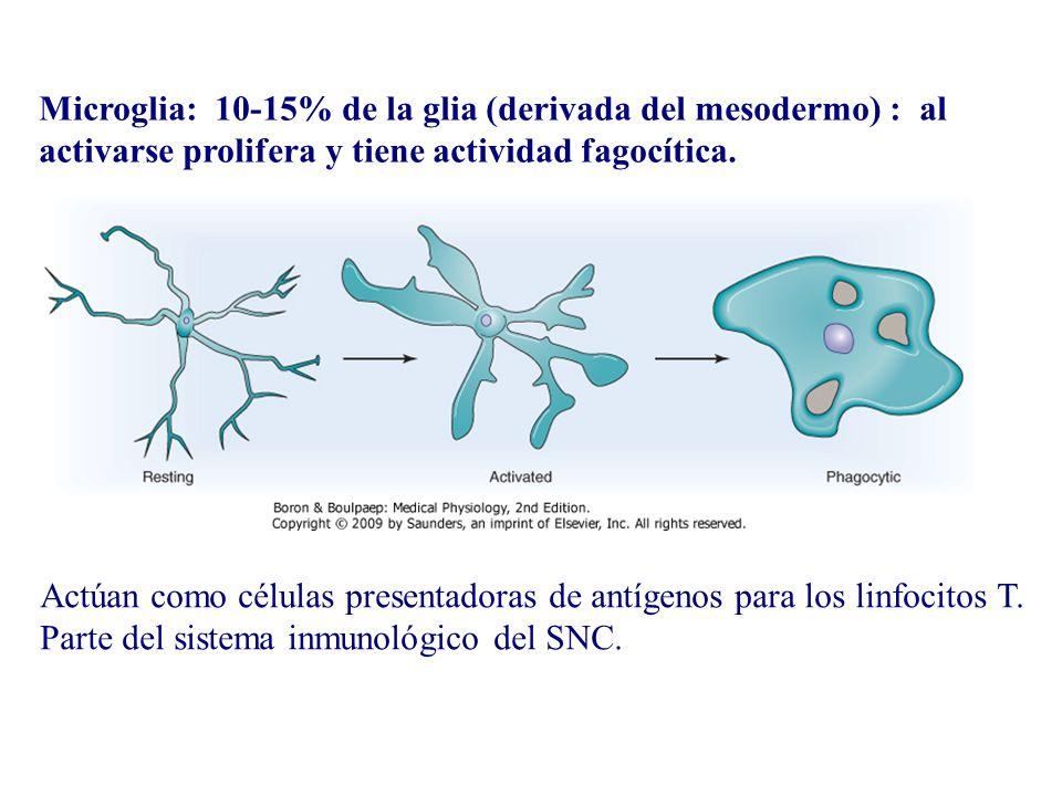 Microglia: 10-15% de la glia (derivada del mesodermo) : al activarse prolifera y tiene actividad fagocítica.
