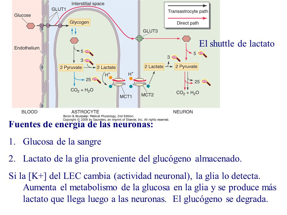 El shuttle de lactato Fuentes de energía de las neuronas: Glucosa de la sangre. Lactato de la glia proveniente del glucógeno almacenado.