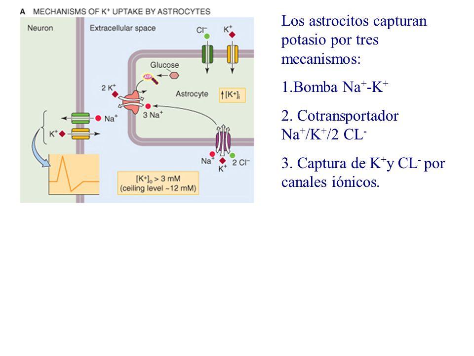Los astrocitos capturan potasio por tres mecanismos: