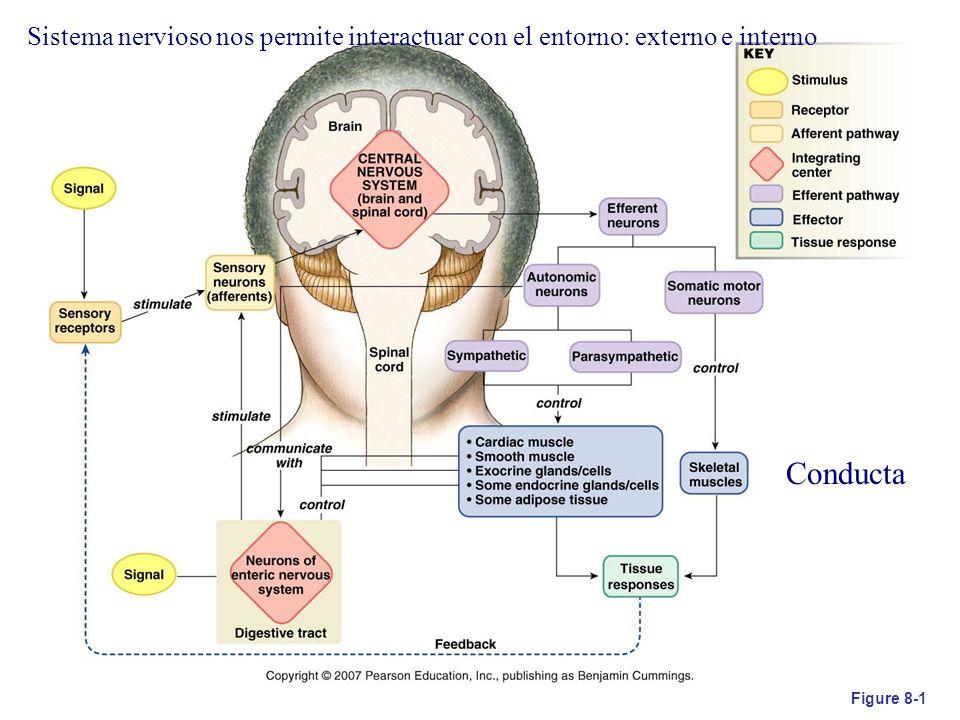 Sistema nervioso nos permite interactuar con el entorno: externo e interno
