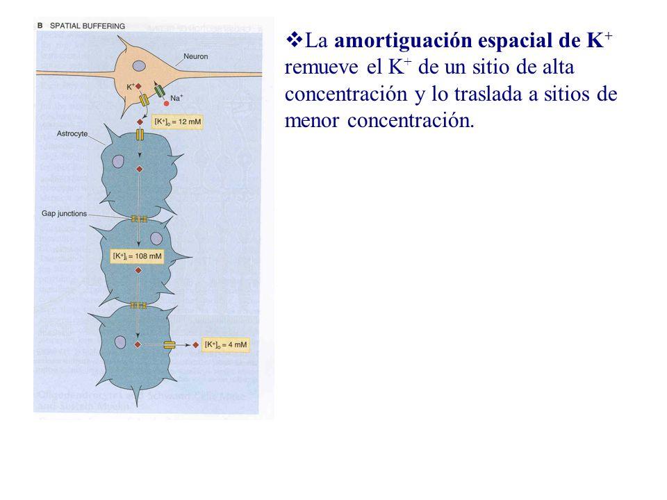 La amortiguación espacial de K+ remueve el K+ de un sitio de alta concentración y lo traslada a sitios de menor concentración.