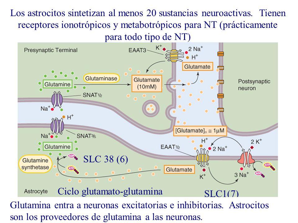 Los astrocitos sintetizan al menos 20 sustancias neuroactivas