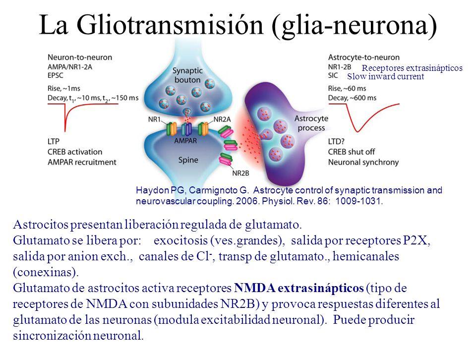 La Gliotransmisión (glia-neurona)