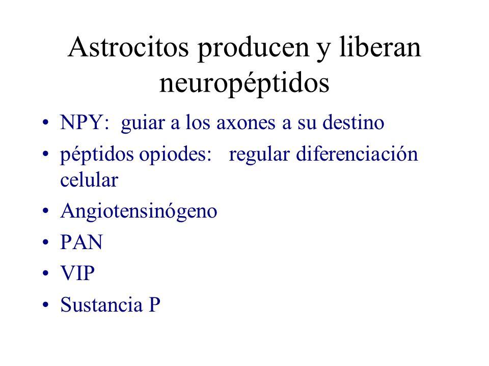 Astrocitos producen y liberan neuropéptidos