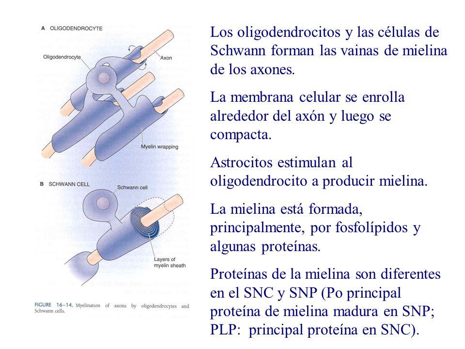 Los oligodendrocitos y las células de Schwann forman las vainas de mielina de los axones.